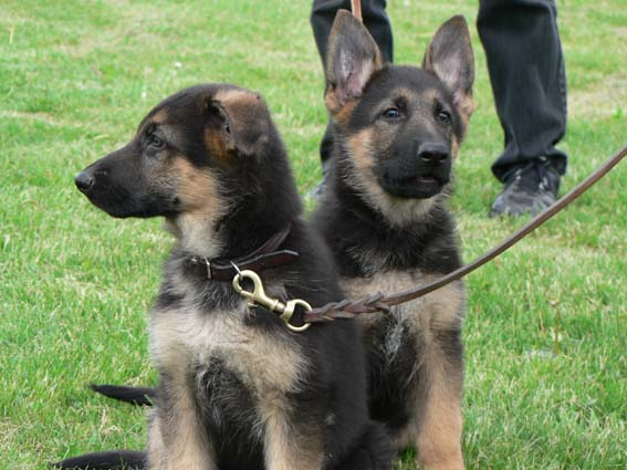 schæferhund hvalpe til salg